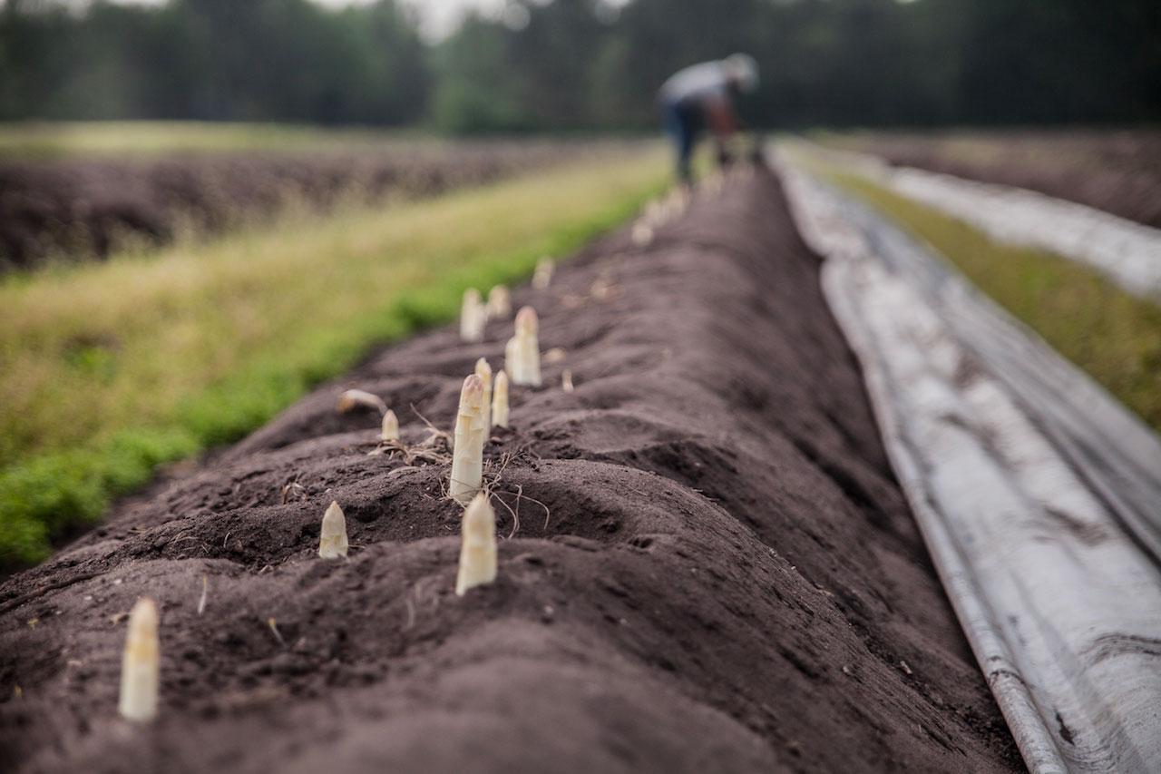 Récolte de l'asperge du blayais Blandine