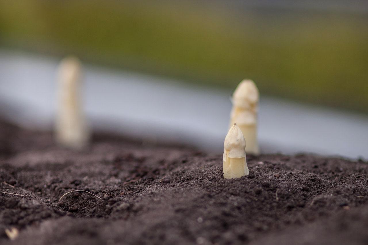 Récolte de l'asperge Blandine